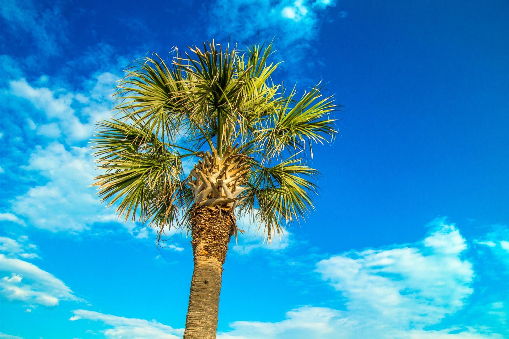 Palmetto-Tree-and-Blue Skies